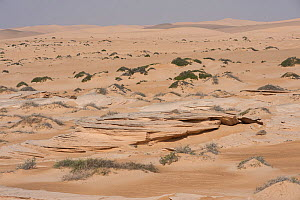 Typical sand desert with sandstone outcrops and sparse vegetation, Rimal Al Wahiba desert, Sultanate of Oman, February. - Martin Gabriel