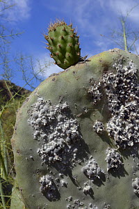 Cochineal insect (Dactylopius coccus), dense colony of scale insects from which the red dye cochineal is extracted, on Prickly pear cactus / Barbary fig (Opuntia ficus-indica) leaf, Gran Canaria, Cana... - Nick Upton