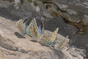 Group of male Chalkhill blue butterflies (Polyommatus coridon) feeding on minerals and salts from a rock, Cares Gorge, Picos de Europa mountains, Spain, August. - Nick Upton