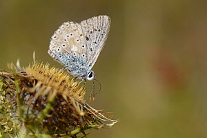 Chalkhill blue butterfly (Polyommatus coridon) nectaring on a Clustered carline thistle (Carlina corymbosa) flower, Picos de Europa mountains, Spain, August. - Nick Upton