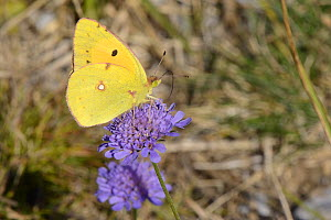 Clouded yellow butterfly (Colias croceus) nectaring on a Field scabious flower (Knautia arvensis), Picos de Europa mountains, Spain, August. - Nick Upton