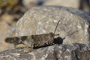Blue-winged grasshopper (Oedipoda caerulescens) well camouflaged while sunning on a limestone boulder, Picos de Europa mountains, Asturias, Spain, August.  -  Nick Upton