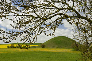 Ash tree (Fraxinus sp.) with Silbury hill, a Neolithic artificial chalk mound, one of the world's largest man-made prehistoric mounds, surrounded by flowering Dandelions (Taraxacum officinale) and Rap... - Nick Upton