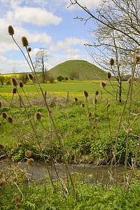 Teasel seedheads (Dipsacus sp.) with Silbury hill, a Neolithic chalk mound, one of the world's largest man-made prehistoric mounds, Wiltshire, UK, May 2015.  -  Nick Upton