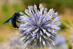 Violet carpenter bee (Xylocopa violacea) nectaring on a Spiny globe thistle (Echinops spinosissimus) flower, Crete, Greece, July. - Nick Upton