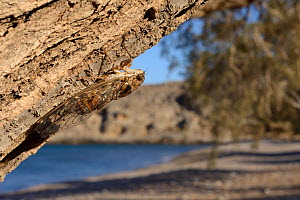 Cretan cicada (Cicada cretensis) on a Tamarisk (Tamarix sp.) tree trunk on a beach, Crete, Greece, July. - Nick Upton