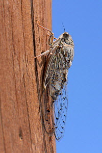 Cretan cicada (Cicada cretensis) on a telegraph pole, Kato Zakros, Crete, Greece, July. - Nick Upton