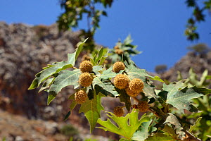 Oriental plane tree (Platanus orientalis) with fruits, Zakros gorge, Sitia Nature Park, Lasithi, Crete, Greece, July. - Nick Upton
