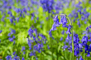 Common Bluebells (Hyacinthoides non-scripta), Monmouthshire, Wales, May. - Phil Savoie