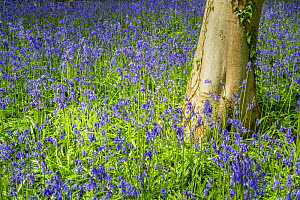Beech tree (Fagus sylvatica) and Common Bluebells (Hyacinthoides non-scripta), Monmouthshire, Wales, May. - Phil Savoie