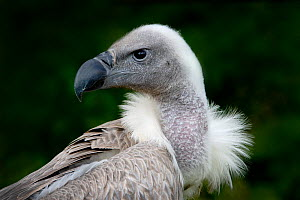 African white-backed vulture (Gyps africanus) adult. Captive bird (occurs in Africa)  -  Melvin Grey