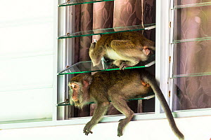 Crab eating macaque (Macaca fascicularis) group stealing food from tourist bungalow by climbing in through the window. Bako National Park. Sarawak State. Borneo. Malaysia. - Christophe Courteau