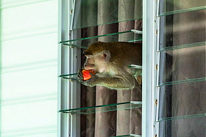 Crab eating macaque (Macaca fascicularis) stealing food from tourist bungalow by climbing in through the window, Bako National Park. Sarawak State. Borneo. Malaysia. - Christophe Courteau