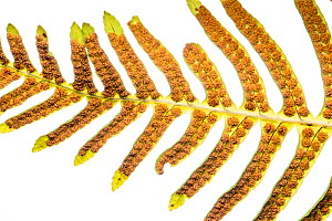 Hard fern ( Blechnum spicant) showing the sori (cluster of spore producing structures. Beneath the fronds. Sugano, Orvieto, Umbria, Italy, March. - Paul  Harcourt Davies