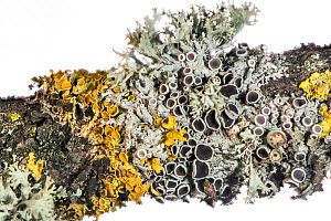 Oak twig with a variety of  lichen species, Podere Montecucco, Orvieto, Umbria, Italy. December.  Focus stacked image.  -  Paul  Harcourt Davies