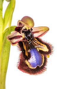 Mirror Ophrys orchid (Ophrys speculum) Peloponnese, Greece, March. - Paul  Harcourt Davies