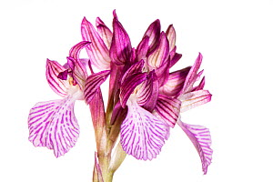 Pink butterfly orchid (Orchis papilionacea var grandiflora ) Peloponnese, Greece, March. - Paul  Harcourt Davies