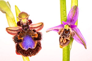 Mirror ophrys (Ophrys speculum) and Horned ophrys (Ophrys cornuta miniscula) orchids, Peloponnese, Greece, March. - Paul  Harcourt Davies