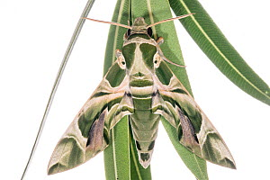 Oleander hawkmoth (Daphnis nerii) Puglia, Italy September.  -  Paul  Harcourt Davies