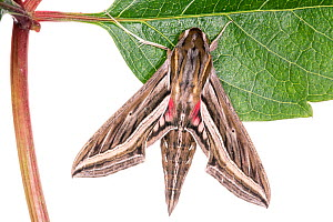 Silver-striped hawkmoth (Hippotion celerio) a Podere Montecucco, Orvieto, Italy, June.  -  Paul  Harcourt Davies