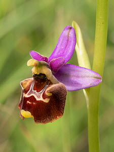 Apennine late spider orchid (Ophrys dinarica). Preci, Sibillini, Umbria, Italy June 2016  -  Paul  Harcourt Davies