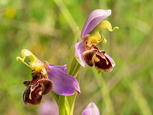 Bee orchids (Ophrys apifera) near Preci, Sibillini, Umbria Italy June.  -  Paul  Harcourt Davies