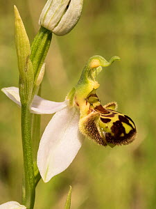 Bee orchid (Ophrys apifera) near Preci, Sibillini, Umbria, Italy, June.  -  Paul  Harcourt Davies