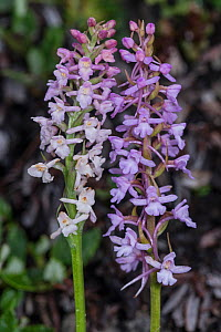 Fragrant orchid species comparison: Gymndenia odoratissima (left) and G. conopsea (right) growing at 2200m Passo di Valparola, near Cortina, Dolomites. July 2016 - Paul  Harcourt Davies