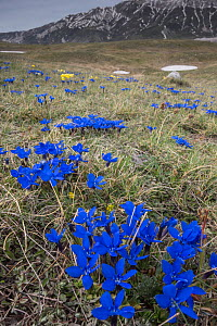 Spring Gentian (Gentiana verna) Gran Sasso, Appennines, Abruzzo, Italy  -  Paul  Harcourt Davies
