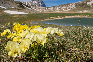 Eugenia's pansy (Viola eugeniae) an Apennine endemic photographed on the Campo Imperatore, Italy. April.  -  Paul  Harcourt Davies