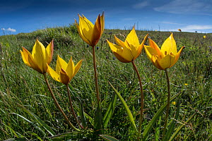 Yellow tulip (Tulipa australis) above Piano Grande, Sibillini, Appennines, Umbria, Italy, May.  -  Paul  Harcourt Davies