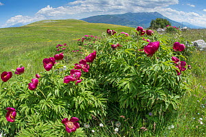 Wild peonies  (Paeonia officinalis) growing on the lower slopes of Mt Vettore, Umbria, Italy, June.  -  Paul  Harcourt Davies