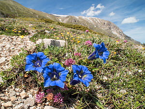 Apennine trumpet gentian (Gentiana dinarica) photographed on the slopes of Mount Vettore, Umbria, Italy, May.  -  Paul  Harcourt Davies