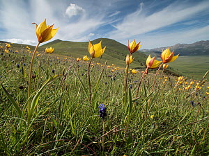 Yellow tulip (Tulipa australis) flowers above the Piano Grande, Sibillini, Appennines, Umbria, Italy, May.  -  Paul  Harcourt Davies
