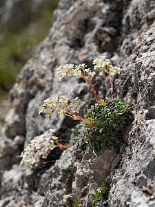 Thick-leaved saxifrage (Saxifraga callosa) Campo Imperatore, Abruzzo, Italy June 2016  -  Paul  Harcourt Davies
