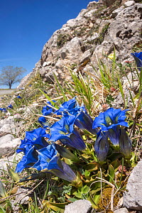 Apennine gentian (Gentiana dinarica) growing on scree slope, Gran sasso, Abruzzo, Italy. April.  -  Paul  Harcourt Davies