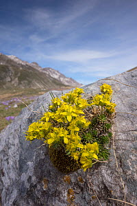 Yellow whitlow grass (Draba aizoides) at Pennard castle. Campo Imperatore (Abruzzo) Italy, April.  -  Paul  Harcourt Davies