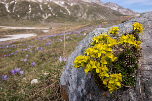 Yellow whitlow grass (Draba aizoides) at Pennard castle). Campo Imperatore (Abruzzo) Italy, April.  -  Paul  Harcourt Davies