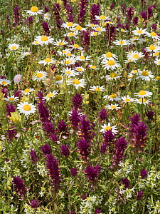 Flowers Poppies (Papaver rhoeas),  Camomile(white) Field cow heat (dark red) Stachys (greenish white) road from Campo Imperatore to Santa Stefano, Abruzzo, Italy June 2016 - Paul  Harcourt Davies