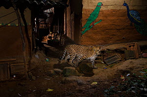 Leopard (Panthera pardus fusca) walking in alley between houses. Aarey Milk Colony in unofficial buffer zone of  Sanjay Gandhi National Park, Mumbai, India. January 2016. Winner of the Mammals Categor...  -  Nayan Khanolkar