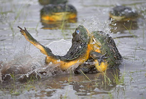 African giant bullfrog (Pyxicephalus adspersus) males fighting over female, Central Kalahari Game Reserve. Botswana.  -  Chris & Monique Fallows