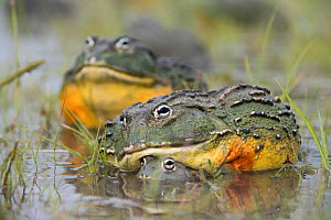 African giant bullfrog (Pyxicephalus adspersus) pair in amplexus, Central Kalahari Game Reserve. Botswana.  -  Chris & Monique Fallows