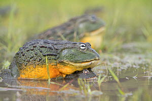 African giant bullfrog (Pyxicephalus adspersus) Central Kalahari Game Reserve. Botswana.  -  Chris & Monique Fallows