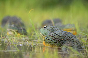 African giant bullfrog (Pyxicephalus adspersus) in pond, Central Kalahari Game Reserve. Botswana.  -  Chris & Monique Fallows