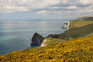 Common gorse (Ulex europaeus) flowering on cliff tops near West Lulworth, looking west towards Durdle Door and the chalk cliffs of Swyre Head and Bat's Head, UNESCO World Natural Heritage Site Jurassi... - Nick Upton