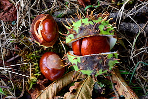 European horse-chestnut (Aesculus hippocastanum) fruit and seeds, Vosges, France  -  Fabrice  Cahez