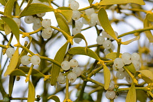 European mistletoe (Viscum album) Vosges, France, December. - Fabrice  Cahez