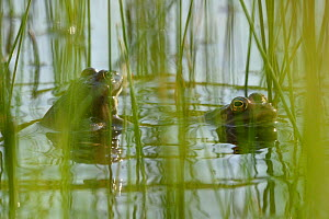 Edible frog (Rana esculenta) in water, Vosges, France, May.  -  Fabrice  Cahez