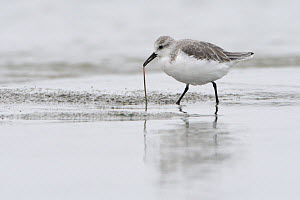Sanderling (Calidris alba) feeding on worm, Baie de Morlaix, Brittany, France, October. - Fabrice  Cahez