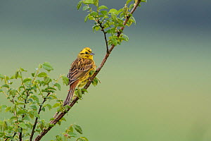 Yellowhammer (Emberiza citrinella) Vosges, France - Fabrice  Cahez